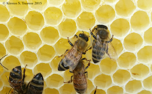 Honey bees storing nectar in comb. When it has fully ripened into honey, the bees will cap the hexagon cells with wax. Image credit: Kirsten Traynor (click image to download hi-res version.)