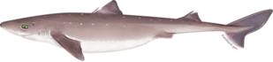 pacific_spiny_dogfish.png