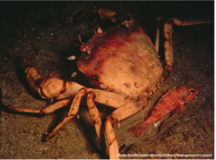 Image of golden crab