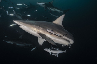 Blacktip shark and remora fish_atese_GettyImages.jpg