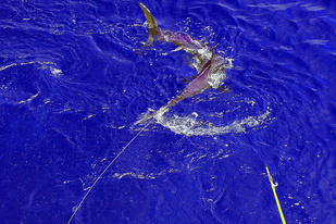 Swordfish being tagged
