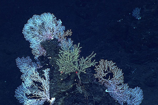 Image of a dense community of deep-water coral.