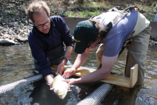 Carl Alderson (left) and Dr. Olaf Jensen (right) inserting a tracking device into an American shad.