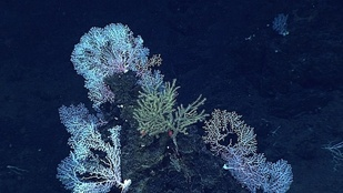 A dense community of deep-water coral.