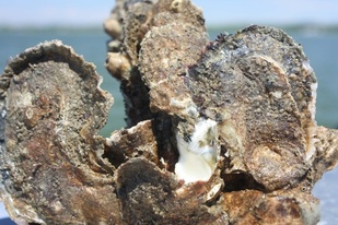 group of oysters