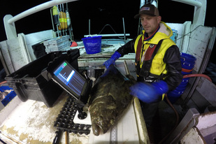 Halibut being examined