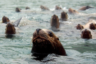 Steller sea lions in water