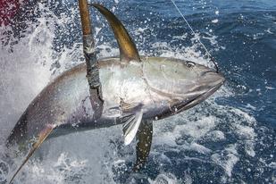 Oceanic Fish Restoration -Louisiana TUNA - 1408x938 150 dpi NFWF c Jay Fleming.jpg