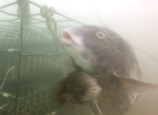 Video still of subadult male tautog pursuing larger female near oyster cage.