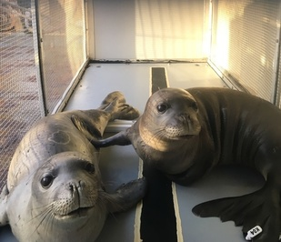 Two underweight monk seal pups