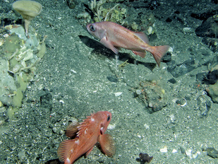 A Pacific ocean perch (top) and rougheye rockfish (bottom).