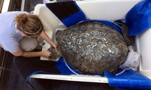 "Dr. Camryn Allen, Marine Biological Researcher, inserts a microchip to uniquely identify ""Turtle 1,000"" (Photo: NOAA Fisheries)."