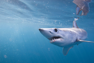Juvenile shortfin mako shark swimming in the waters off California. Photo credit: Walter Heim.