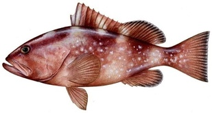 Image of red grouper fish