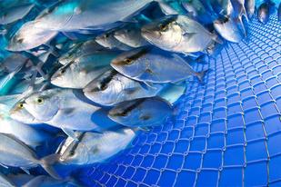Kanpachi fish in open ocean net pen.