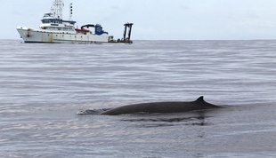 Finding beaked whale on the surface.