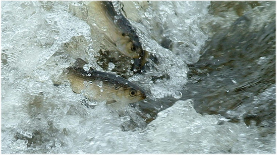 Alewife and Blueback herring.Ticonic Falls3.jpg