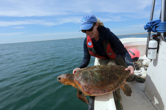 Scientist releases a tagged loggerhead