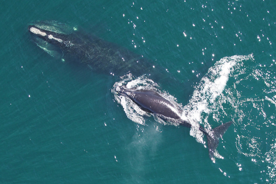 Aerial view of North Atlantic right whale mom and calf.