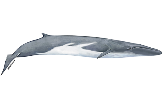 Fin whale illustration