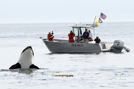 "A Southern Resident killer whale ""spy hopping."""