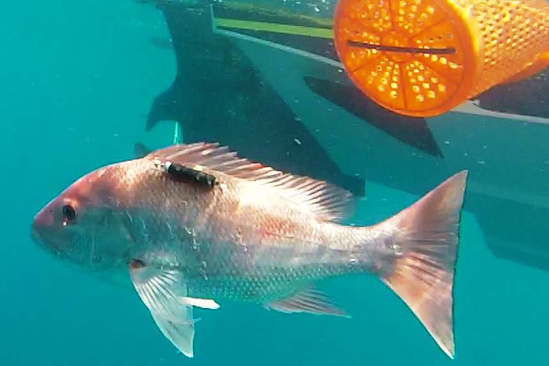 Red snapper released with a descender attached.