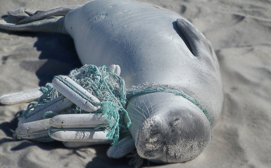 Monk seal entangled with rope and buoys.