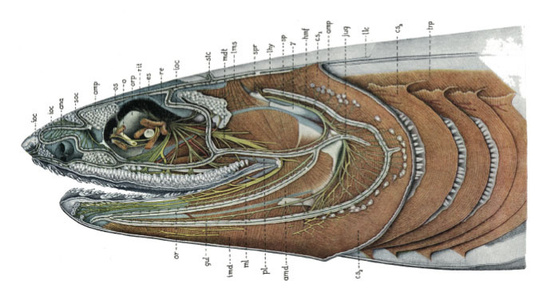 Lateral view of head