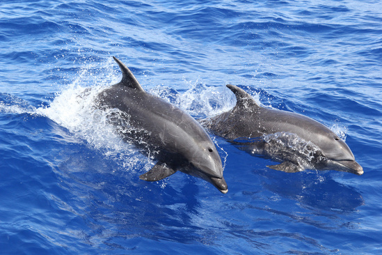 1024x683 Pair Of Bottlenose Dolphins Jpg