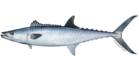 3000x1500-king-mackerel-illustration-sf.png