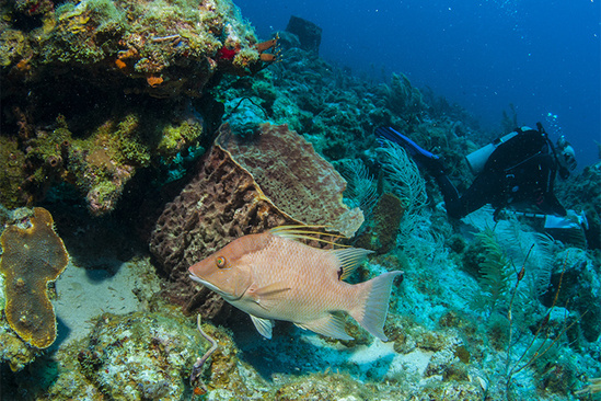 750x500-Scuba-survey-Hogfish-SEFSC.jpg