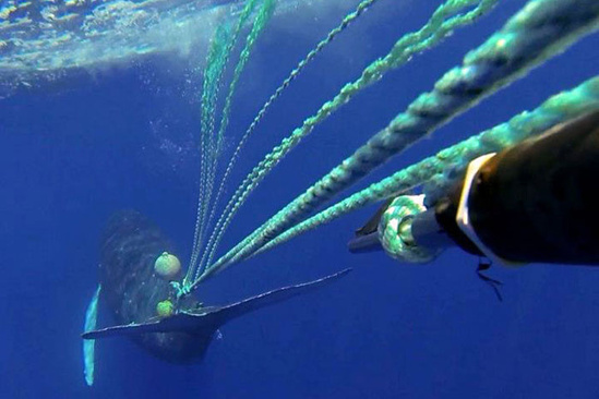 An entangled whale.