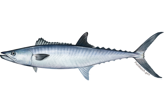 king_mackerel.png