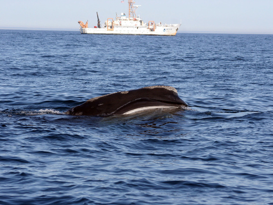 right_whale__feeding_with_delaware_ii_in_the_background._credit_lisa_conger_noaa_nefsc.jpg