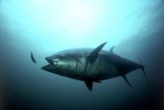 An Atlantic bluefin tuna. Credit: Gilbert Van Ryckevorsel/TAG A Giant.