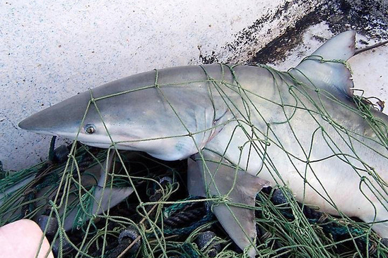 Finetooth shark caught in a net.