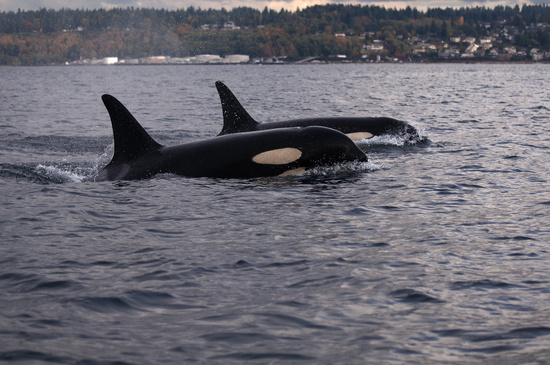 Two southern resident killer whales.