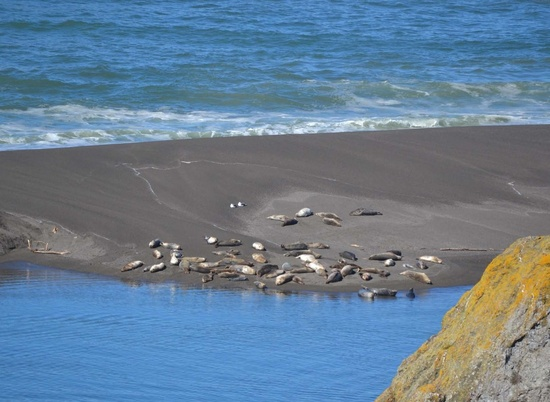 Photo of pinnipeds on beach near project area