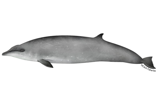 Gervais beaked whale illustration