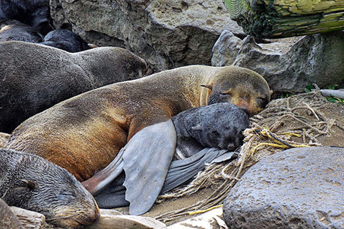 500x333-NorthernFurSealsMother-thumb.jpg