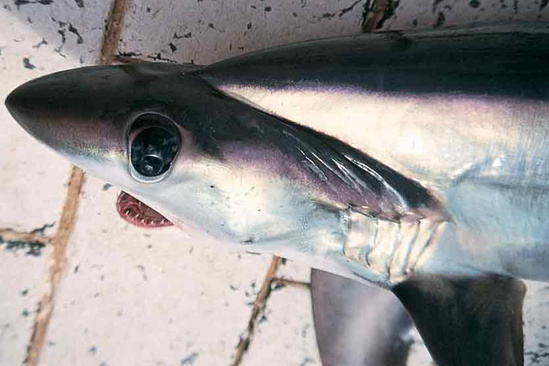 Bigeye thresher shark head from the side showing a large eye and one of the deep grooves that runs from the center of the head just behind the eye out towards the last gill slit above the pectoral fin.