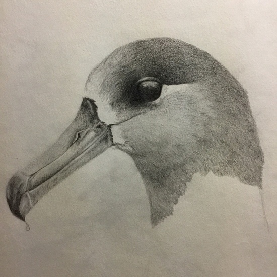Original drawing of albatross by observer (Credit: Holly Naholowaa).