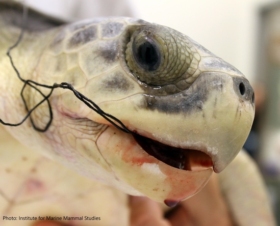 Kemp's ridley sea turtle hooked at the mouth.