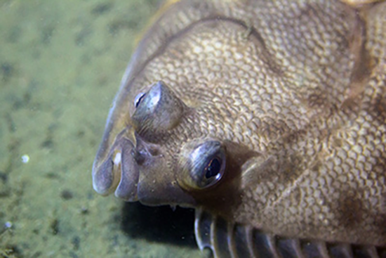 The top view of a yellowtail flounder's head as it rests on the sea bottom