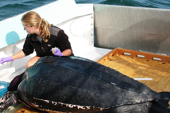 Scientist attaching satellite tag to leatherback sea turtle.