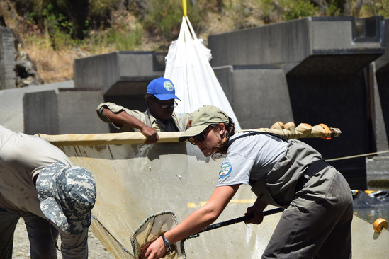 CA Vet Corps Fortuna Veteran Chantel Moore removing fish from the outlet pool prior to the Benbow Dam Removal (1).jpg