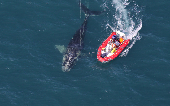 1280x800-right-whale-disentanglement-ecohealth-alliance.jpg