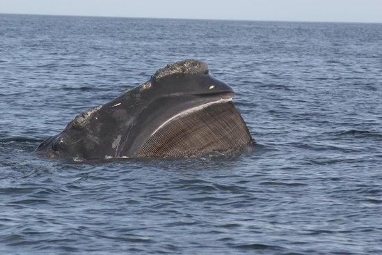 Right whale skim feeding.