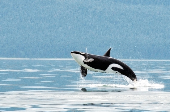 Killer-whale-research-in-Alaska-NMFS-JRM-20090715-1-058_KillerWhale_JMoran-retouched.jpg