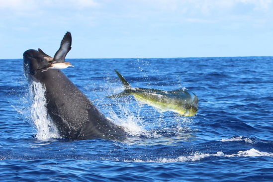 Whale and mahimahi breaching